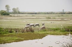Water buffalo eating food in Thale Noi Waterfowl Reserve Park Royalty Free Stock Photo