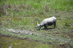 Water buffalo eating food in Thale Noi Waterfowl Reserve Park Stock Photo