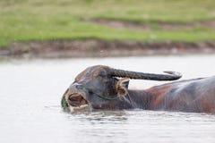 Water buffalo Royalty Free Stock Photos