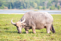 Water buffalo Stock Photos