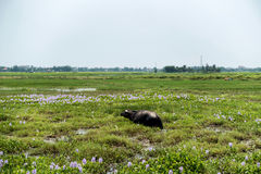 Water buffalo eating grass in field Royalty Free Stock Image