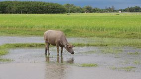 Water buffalo eating grass in rice field. Water buffalo eating grass in rice field stock video footage