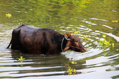 Water Buffalo emerging from the water Stock Images