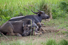 Water Buffalo family. Thai Water Buffalo family under the tree Stock Images