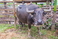 Water Buffalo. Royalty Free Stock Image