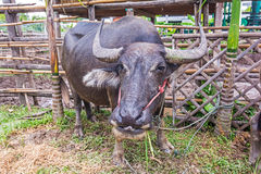 Water Buffalo. Stock Photo