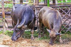 Water Buffalo. Royalty Free Stock Photo
