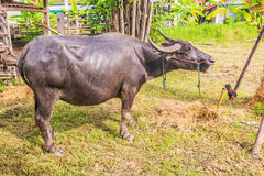 Water Buffalo. Stock Images