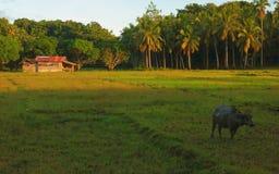 Water buffalo on the farm Royalty Free Stock Photo