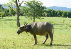 The water buffalo in farm on sunny day Royalty Free Stock Image