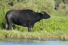 Water Buffalo (female) grazing Stock Photography