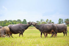 Water buffalo fighting in green grass Royalty Free Stock Image