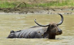 Water Buffalo and frogs. / Refreshment of Water buffalo. Male water buffalo bathing in the pond in Sri Lanka. The Sri Lanka wild water buffalo Bubalus arnee Stock Image