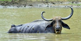 Water Buffalo and frogs. / Refreshment of Water buffalo.  Male water buffalo bathing in the pond in Sri Lanka. The Sri Lanka wild water buffalo Bubalus arnee Stock Photos