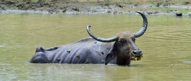 Water Buffalo and frogs. / Refreshment of Water buffalo. Male water buffalo bathing in the pond in Sri Lanka. The Sri Lanka wild water buffalo Bubalus arnee Stock Photography