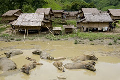 Water buffalo in front of Hmong village, Laos Royalty Free Stock Photo