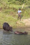 Water Buffalo getting herded across the river. Water buffalo chitwan park nepal Royalty Free Stock Photography