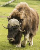 A Muskox Grazes at Alaskan Preserve. A muskox surveys the grass as it prepares to graze, making for a  bucolic scene.  The animal has been injured in some Stock Photography