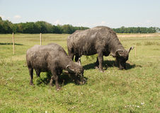 Water Buffalo Grazing Stock Photo