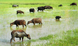 Water buffalo grazing. In marshy area Stock Image