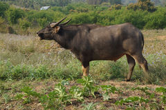 Water buffalo grazing Royalty Free Stock Images
