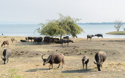 Water buffalo grazing on field Royalty Free Stock Photography