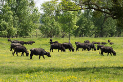 Water buffalo grazing Stock Photos