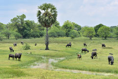 Water buffalo grazing in green meadow royalty free stock photos