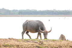 Water buffalo Stock Photos