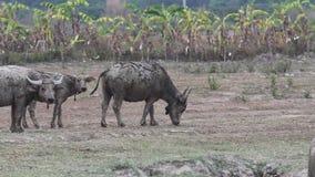 Water buffalo grazing in meadow stock footage