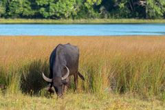 Water Buffalo grazing in morning sunlight in Wilpattu National Park in Sri Lanka Royalty Free Stock Photos