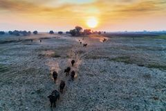 Water buffalo grazing at sunset  next to the river Strymon in No. Rthern Greece. Aerial shot Stock Photo