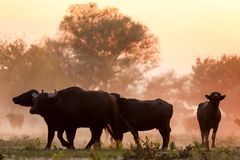 Water buffalo grazing at sunset  next to the river Strymon in No. Rthern Greece Royalty Free Stock Photos