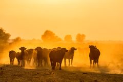 Water buffalo grazing at sunset  next to the river Strymon. In Northern Greece Stock Photography