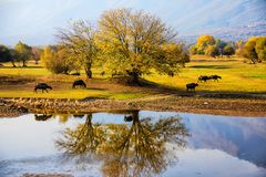 Water buffalo grazing at sunset  next to the river Strymon. In Northern Greece Stock Photo