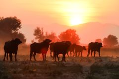 Water buffalo grazing at sunset  next to the river Strymon. In Northern Greece Royalty Free Stock Images