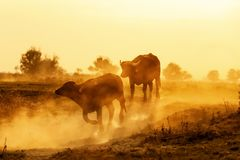 Water buffalo grazing at sunset  next to the river Strymon. In Northern Greece Stock Images