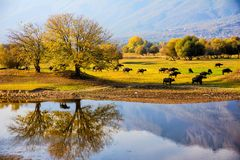Water buffalo grazing at sunset  next to the river Strymon. In Northern Greece Royalty Free Stock Image