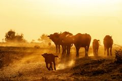 Water buffalo grazing at sunset  next to the river Strymon. In Northern Greece Stock Image