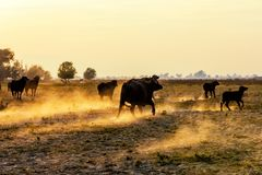 Water buffalo grazing at sunset  next to the river Strymon. In Northern Greece Royalty Free Stock Photo