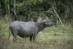 Water buffalo on green background , asia thailand stock image