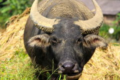 Water buffalo having a feed Royalty Free Stock Photo