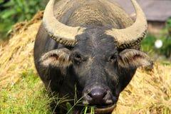 Water buffalo having a feed Royalty Free Stock Photo