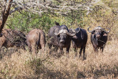 Buffalos Animals Bush Wildlife Royalty Free Stock Image