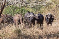 Buffalos Animals Bush Wildlife Royalty Free Stock Image