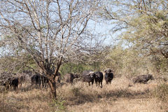 Buffalo Animals Bush Wildlife Stock Images