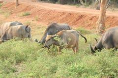 Water buffalo herd Stock Image