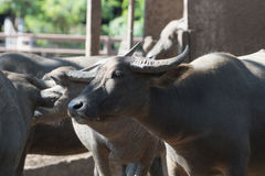 Water buffalo herd in stable. Royalty Free Stock Photo