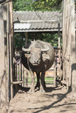 Water buffalo herd in stable. Royalty Free Stock Photography