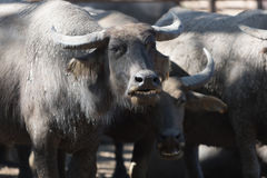 Water buffalo herd in stable. Pasture raised Asian water buffalo. free range husbandry Royalty Free Stock Images